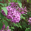 Lilac!  April, 2011