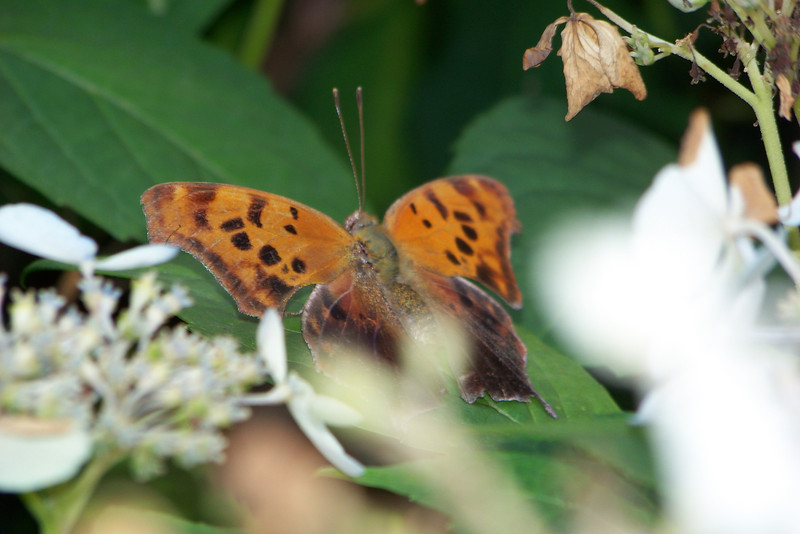 Bonus: we saw this pretty butterly/moth on the hydrangea; does anybody know what it is?  Update:  Mirta says it's a Question Mark (Polygonia interrogationis).  Thanks, Mirta!