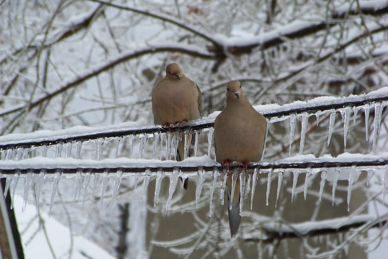 The Mourning Doves are looking beautiful on the ice-laden lines.