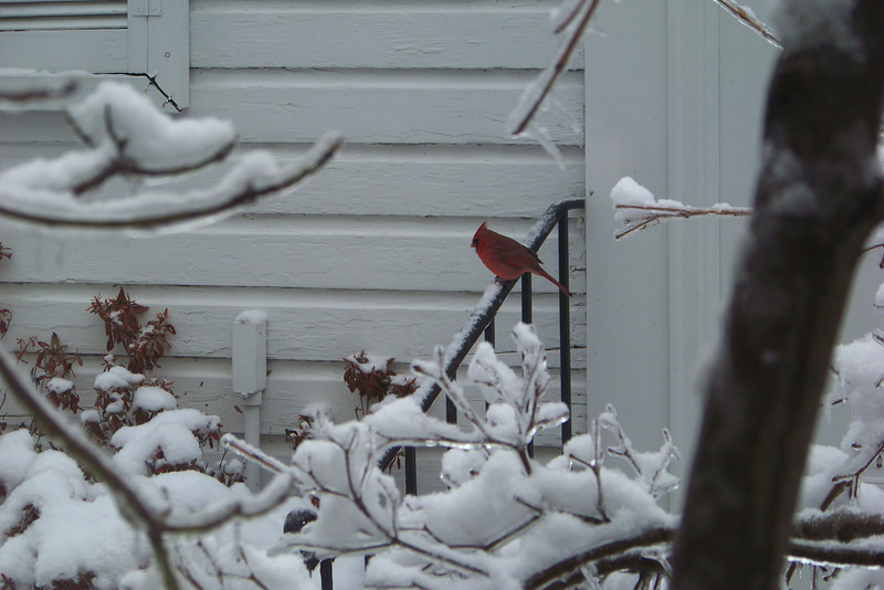Mr. Cardinal taking in the altered condition of his usual world.
