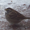 White Throated Sparrow following a strategy of hanging out on our desk picking up seeds we dropped on our way to the yard.
