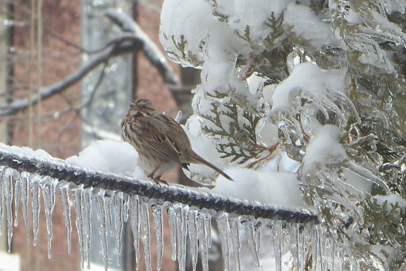 The Song Sparrow came for some seed, and stayed around to serenade us.