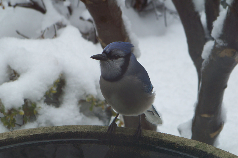 Blue Jay on the birdbath
