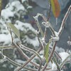 Our Sweetbay Magnolia had stubbornly hung onto a few of its leaves; now the still-greenish leaves are covered with ice!