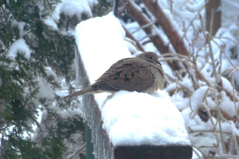 This Mourning Dove is working hard at digesting all the corn and seeds s/he has consumed.