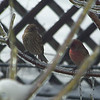 Mr. and Mrs. House Finch