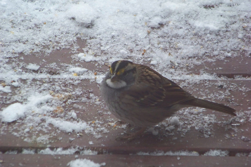 The markings on the White Throated Sparrow give it a slightly cranky expression.