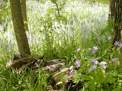 Wild hyacinth and wild geraniums by woodpile behind house.
