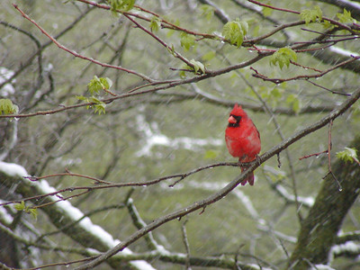 Cardinal braving the early spring snows.