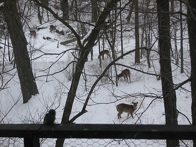 Hungry deer venturing across the creek in search of food.