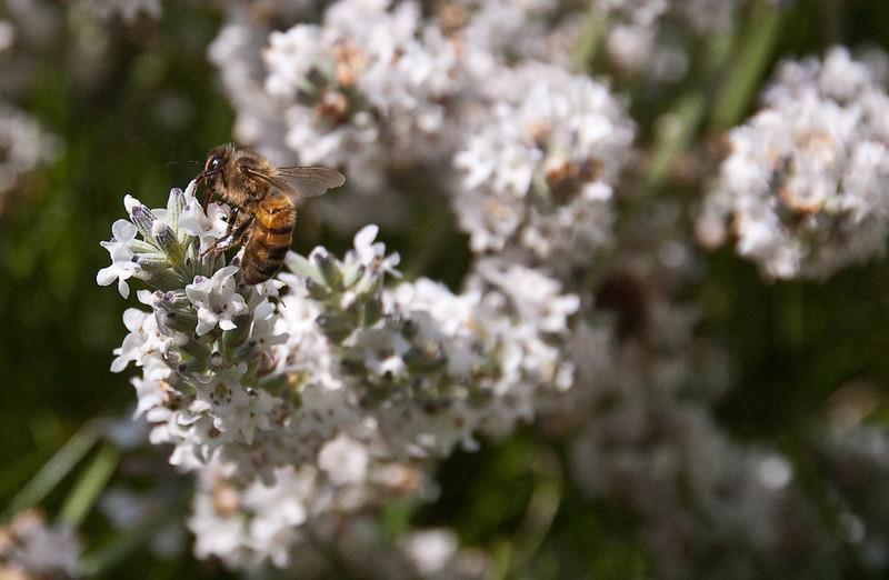 popular lavender