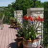 Main deck 3rd column: Purple Hibiscus, Amaryllis (March) same plants as previous photo, 2 weeks later