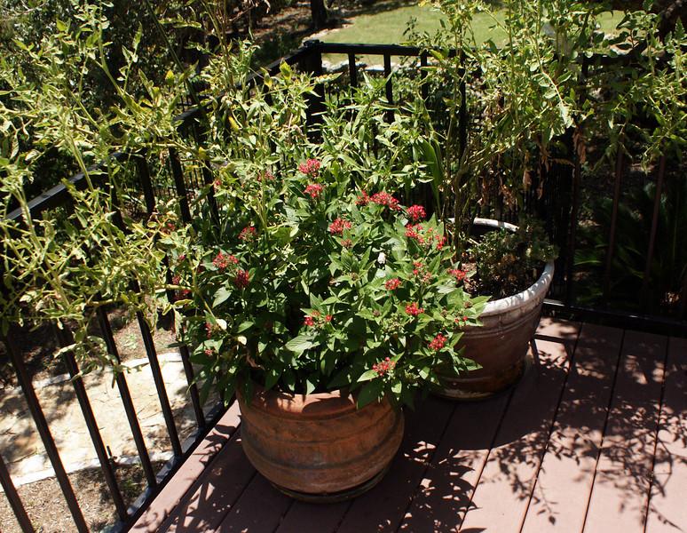Main deck right side:  red penta, big boy tomato+marigolds