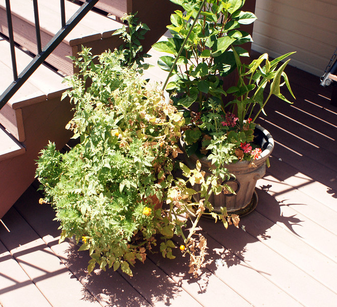 Cherry tomato+marigolds,   asiatic lilies+yellow hibiscus+red geranium (July)