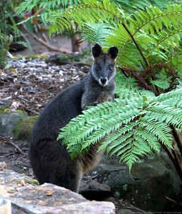 Swamp Wallaby munching on one of our tree ferns.
