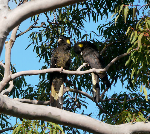Yellow-Tailed Black-Cockatoos