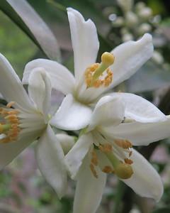 satsuma closeup