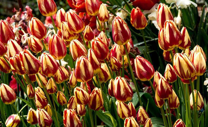Tulips, Kelmarsh Hall, Northamptonshire