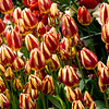 Tulips, Kelmarsh Hall, Northamptonshire