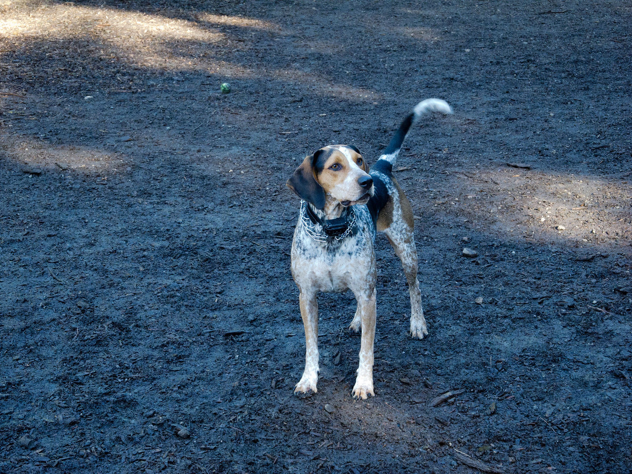 Lucy, a Blue-tick Coon Hound. It belongs to my daughter, but I walk her often.