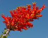The Ocotillo produces these gogeous blooms at the very tip of its long, skinny, shoots.