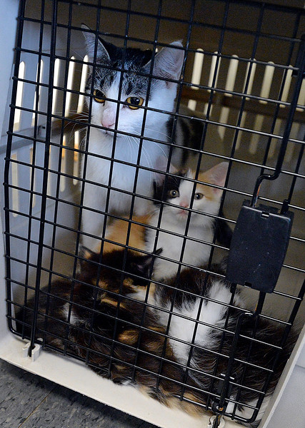 A mother cat and her kittens peek out of a carrier Friday, Sept. 8, 2017, after arriving at the Fort Collins Cat Rescue from Houston. The cat rescue received 52 cats and kittens from a shelter in Houston.  (Photo by Jenny Sparks/Loveland Reporter-Herald)