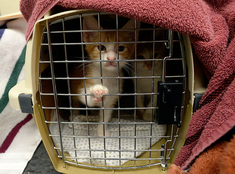 A pair of kittens peek out of a carrier Friday, Sept. 8, 2017, after arriving at the Fort Collins Cat Rescue from Houston. The cat rescue received 52 cats and kittens from a shelter in Houston.  (Photo by Jenny Sparks/Loveland Reporter-Herald)
