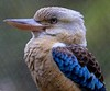Blue-winged Kookaburra, native to Australia and New Zealand.
