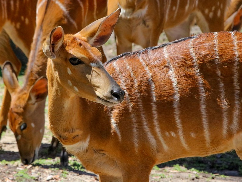 Nyala Antelope.