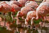 One of 7 varieties of Flamingos. Many are found in the mud flats of South America and Africa.