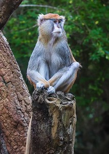 zZoo, Feb 1, 2018 046A Patas Monkey, Africa