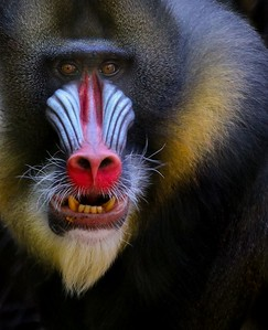 "Mandrill, a native of Africa, Status is listed as Vulnerable. If you see a Mandrill give a big ""smile"" it really is a greeting."