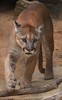 zZoo, Feb 1, 2018 482A adult Cougar