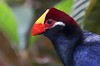 The Violaceous Turaco inhabits primarily a large section of West Africa.