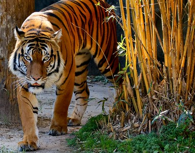 This male Malayan Tiger is one of the finest examples of big cats anywhere in captivity.