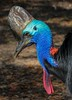 Double-wattled Cassowary, a native of New Zealand. The photo viewed in full size shows a lot of detail in this colorful gift of nature.