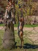 A Gerenuk, a slender antelope that looks like a gazelle. The often stand like this when feeding on trees.
