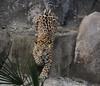 zZoo, Feb 1, 2018 281B male Jaguar cub