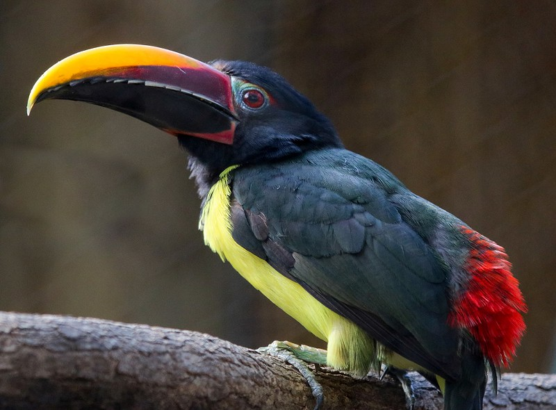 Green Aracari, found in northeastern South America.