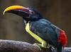 Green Aracari, found in northeastern South America.