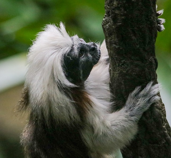 Loss of forest habitat in Colombia continues to challenge the Cotton Top Tamarin's survival.