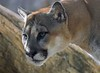 The healthiest Cougars have a 20 foot vertical jump and can daylight 40 feet of ground to pounce on prey. Wow.