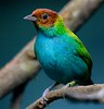 Bay-headed tanager. Found in damp forests of South America.