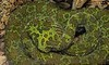 Outside of the Mangshan Mountain area of China, no one had ever reported seeing a Mang Mountain Pit Viper until 1989. Little is known about it, but it comes with world class camo.