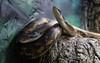 aaZoo3-31-17 1630A Texas Rat Snakes