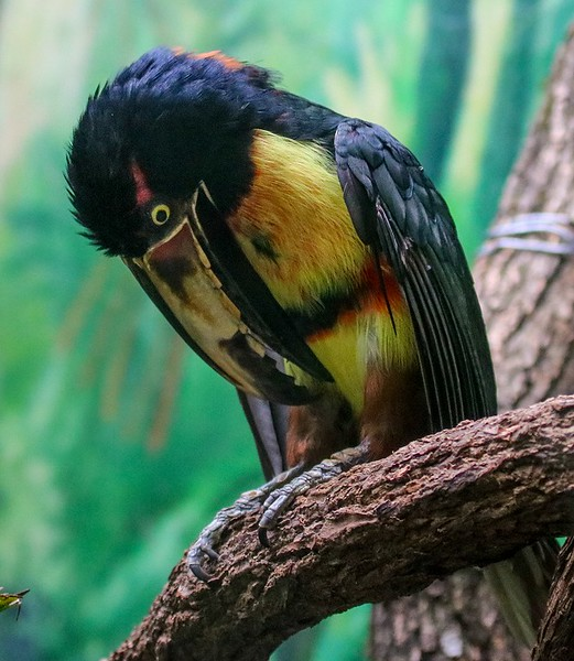 Collared Aracari, seen from southern Mexico and into Northern South America.