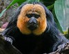 White-faced saki Monkey, whose natural home is the rain forests of South America.
