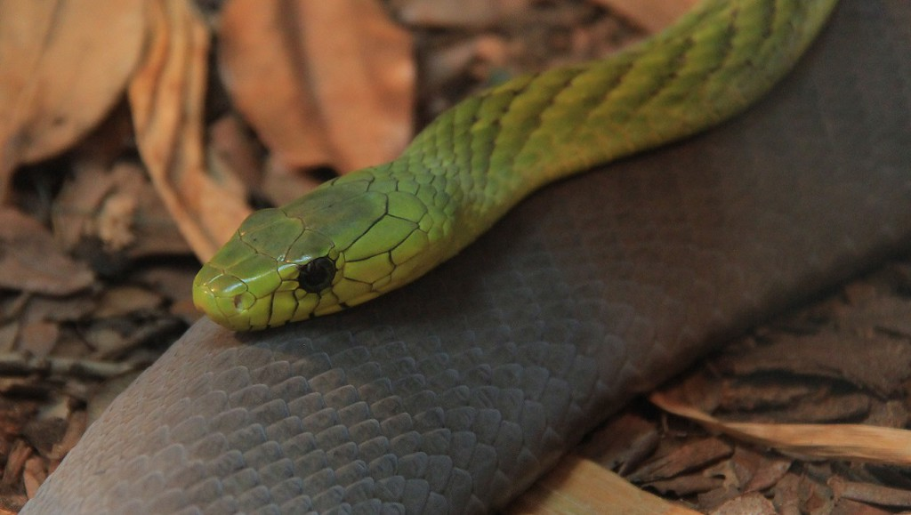 West African Green Mamba laying on a Black Mamba.