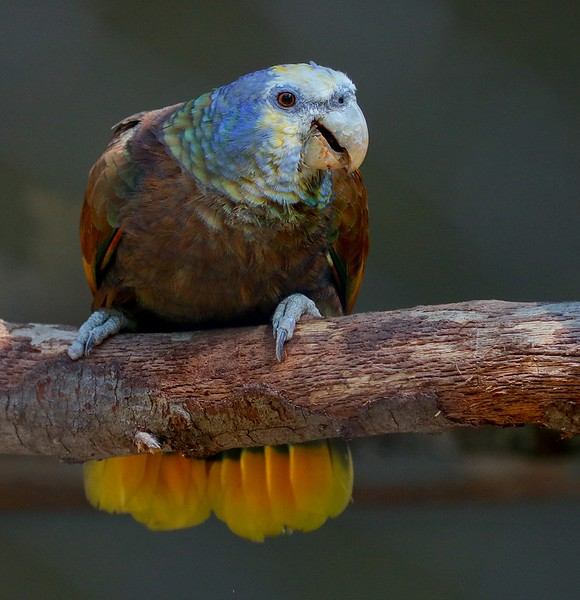 St. Vincent Amazon. Listed as Vulnerable by the IUCN.