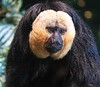 zZoo, Feb 1, 2018 662A White-faced Saki monkey